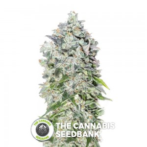 00 Kush (00 Seeds) - The Cannabis Seedbank