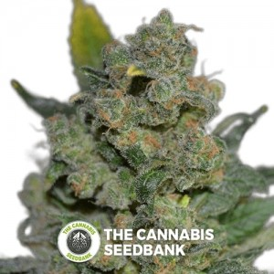 710 Cheese (710 Genetics) - The Cannabis Seedbank