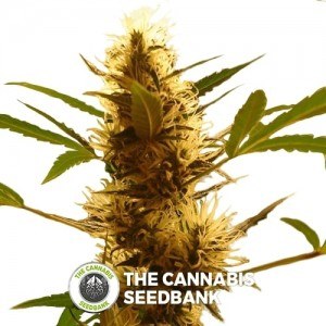 710 Diesel Auto (710 Genetics) - The Cannabis Seedbank