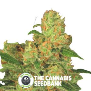 Acid Auto - Autoflowering - Paradise Seeds