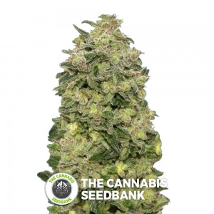 Afghan Skunk Auto (Advanced Seeds) - The Cannabis Seedbank