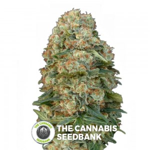 Afghan Skunk (Advanced Seeds) - The Cannabis Seedbank