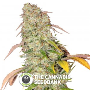 Akorn (T.H. Seeds) - The Cannabis Seedbank