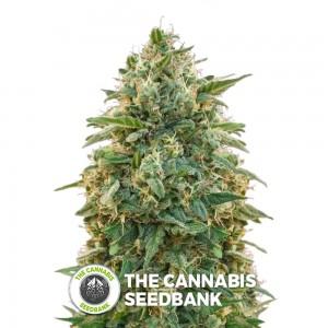 Amnesia (Advanced Seeds) - The Cannabis Seedbank