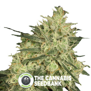 Atomical Haze - Feminized - Paradise Seeds