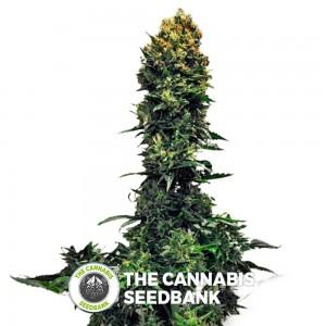 Auto 00 Kush (00 Seeds) - The Cannabis Seedbank