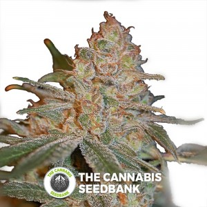 Black Diesel (Advanced Seeds) - The Cannabis Seedbank