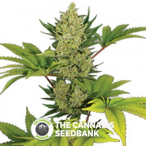 Blue Cheese AUTO Feminised Barney's Farm Seeds - Characteristics
