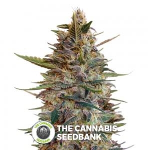Blue Diesel Auto (Advanced Seeds) - The Cannabis Seedbank