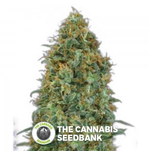 Automatik Collection #4 Auto (00 Seeds) - The Cannabis Seedbank