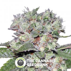 Bomb CBD - Feminised Cannabis Seeds - Bomb Seeds