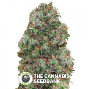 Bubble Gum (00 Seeds) - The Cannabis Seedbank