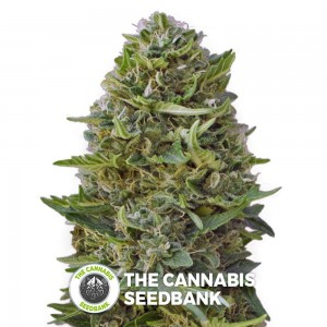 Caramel Kush (00 Seeds) - The Cannabis Seedbank