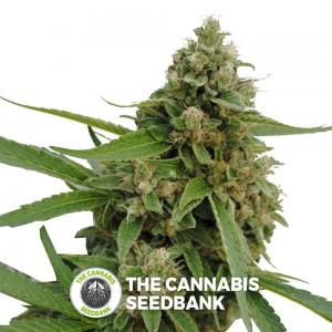 Bubba Kush CBD (CBD Botanic) - The Cannabis Seedbank