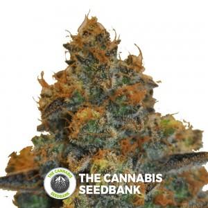D Diesel CBD (CBD Botanic) - The Cannabis Seedbank