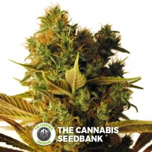 Hammer Shark CBD (CBD Botanic) - The Cannabis Seedbank