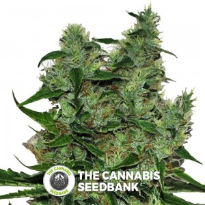 Somango CBD (CBD Botanic) - The Cannabis Seedbank