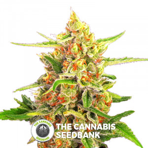 Cherry Bomb - Feminised Cannabis Seeds - Bomb Seeds
