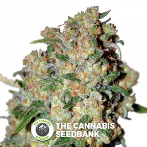 Critical (Advanced Seeds) - The Cannabis Seedbank