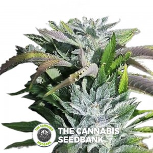 Digital Dream Regular (Digital Genetics) - The Cannabis Seedbank