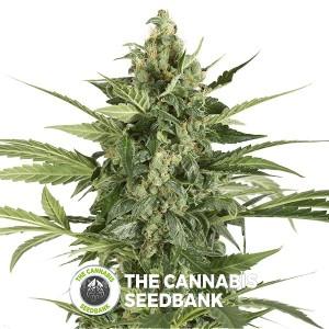 Blue Cheese Auto (Barney's Farm Seeds) - The Cannabis Seedbank
