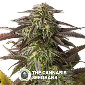 Blue Cheese Feminised (Dinafem Seeds) - The Cannabis Seedbank