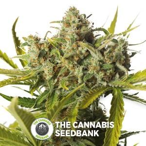 Blue Critical Auto (Dinafem Seeds) - The Cannabis Seedbank