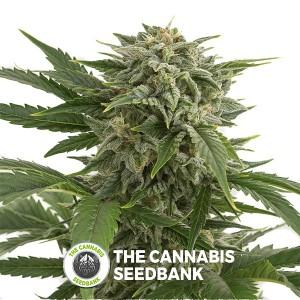 Bubba Kush Autoflowering Feminised Dinafem Seeds