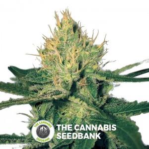Cannalope Haze Regular (DNA Genetics) - The Cannabis Seedbank
