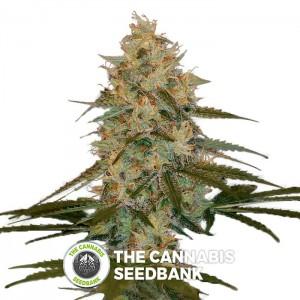 Chocolope Kush seeds (DNA Genetics) - The Cannabis Seedbank