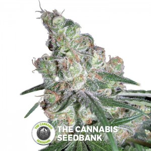Chocolope (DNA Genetics) - The Cannabis Seedbank