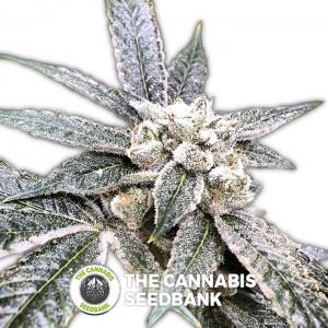Golden Berry (DNA Genetics) - The Cannabis Seedbank