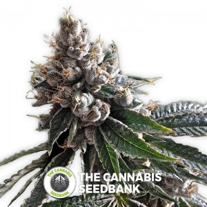 Golden Lemons (DNA Genetics) - The Cannabis Seedbank