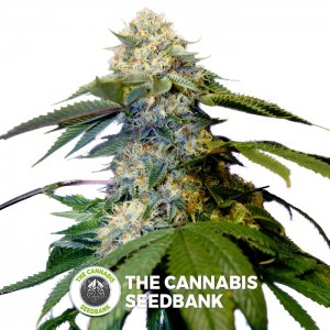 Holy Grail Kush (DNA Genetics) - The Cannabis Seedbank