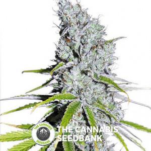 CBD Skunk Haze - Feminised Cannabis Seeds - Dutch Passion