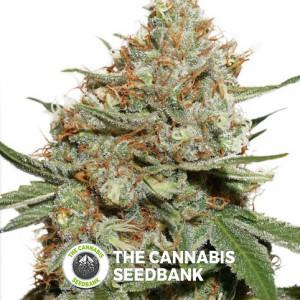 Skunk #11 - Feminised Cannabis Seeds - Dutch Passion
