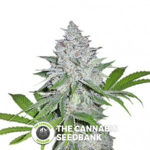 Californian Snow Autoflowering Feminised FastBuds Seeds
