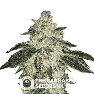 Green Crack Autoflowering Feminised FastBuds Seeds