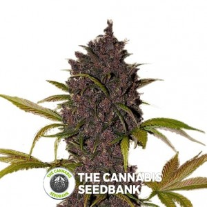 LSD-25 Autoflowering Feminised FastBuds Seeds