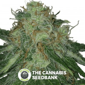 Fools Gold (710 Genetics) - The Cannabis Seedbank