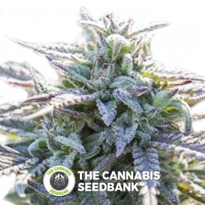 Grape SnowTrain Regular (Digital Genetics) - The Cannabis Seedbank