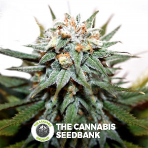 Hash Bomb - Feminised Cannabis Seeds - Bomb Seeds