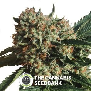Sapphire OG Feminised Humboldt Seeds