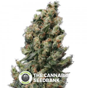 Kushage (T.H. Seeds) - The Cannabis Seedbank