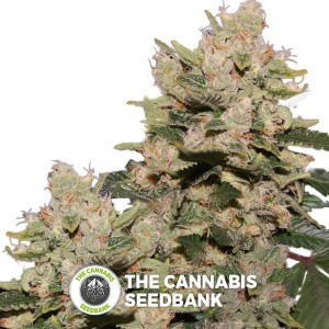 M.O.B (T.H. Seeds) - The Cannabis Seedbank