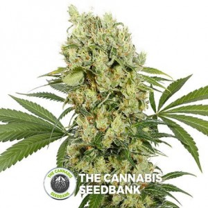 Magnum Auto (Buddha Seeds) - The Cannabis Seedbank