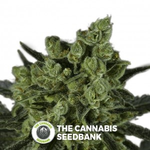 Mango (710 Genetics) - The Cannabis Seedbank