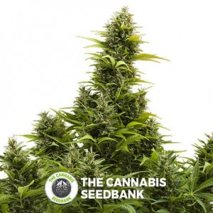 Medikit CBD Auto (Buddha Seeds) - The Cannabis Seedbank