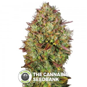MK Ultra (T.H. Seeds) - The Cannabis Seedbank
