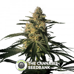 Nightingale (NN1) - Feminised - Medical Marijuana Genetics